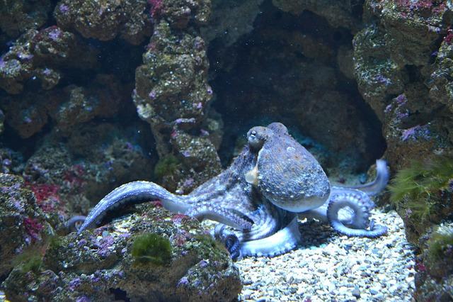 chobotnice v moři
