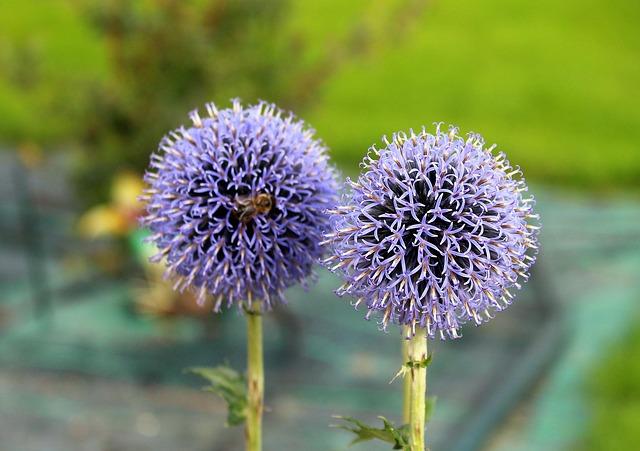 ostropestřec květ